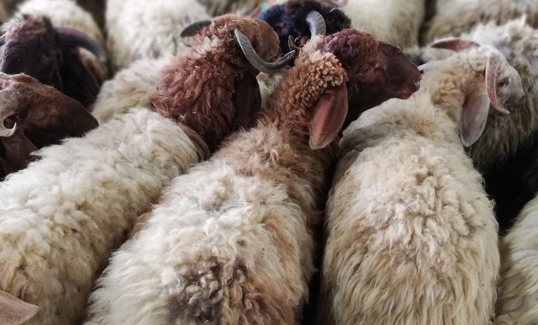 أضاحي العيد : آداب الأضحية وحكم تقسيم وتوزيع لحمها